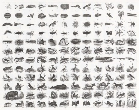 Classification of Animal Species Engraving