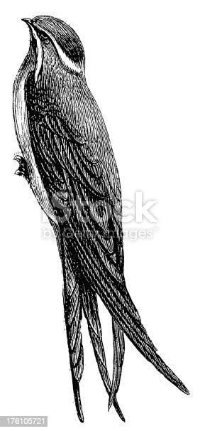 istock Cliff swallow | Antique Bird Illustrations 176105721