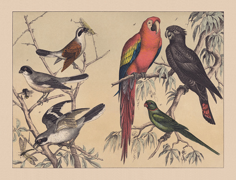 Climbing birds (shrikes and parrots), hand-colored chromolithograph, published in 1882