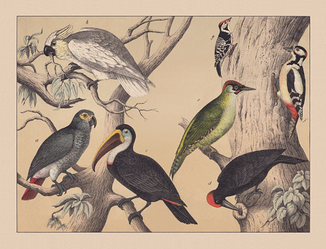 Climbing birds (parrots and woodpeckers), hand-colored chromolithograph, published in 1882