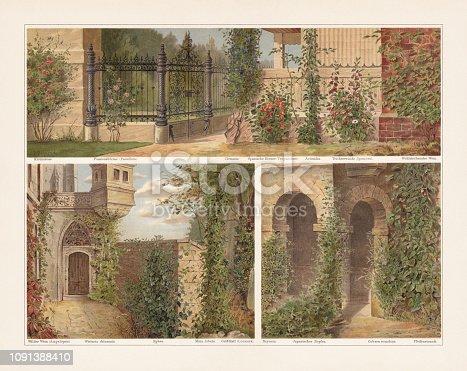 Climbing plants, top: Climbing rose; Passionflower (Passiflora); Clematis; Nasturtium (Tropaelum); Actinidia chinensis; Ipomoea, Fragrant wine. Bottom: Wild vine (Ampelopsis); Chinese wisteria (Wisteria sinensis, or Wistaria chinensis); Ivy (Hedera); Fire vine (Ipomoea lobata, or Mina lobata); Italian woodbine (Lonicera caprifolium); Bryony (Bryonia); Japanese hop (Humulus japonicus); Cup-and-saucer vine (Cobaea scandens); Sweet mock-orange (Philadelphus coronarius). Chromolithograph, published in 1897.