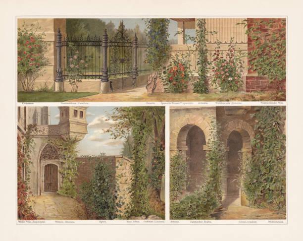ilustrações de stock, clip art, desenhos animados e ícones de climbing plants, chromolithograph, published in 1897 - ivy building