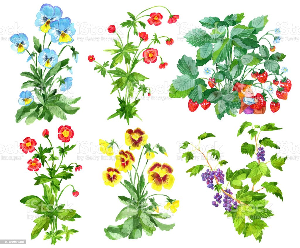 Clipart Set With Garden Flowers Of Pansy And Anemone Currant Berries