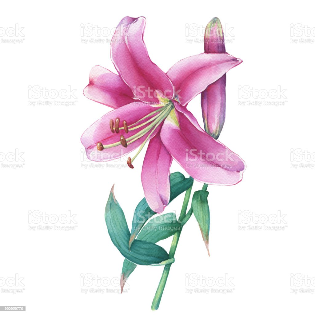 Closeup Of A Pink Lily Flower Watercolor Hand Drawn Painting