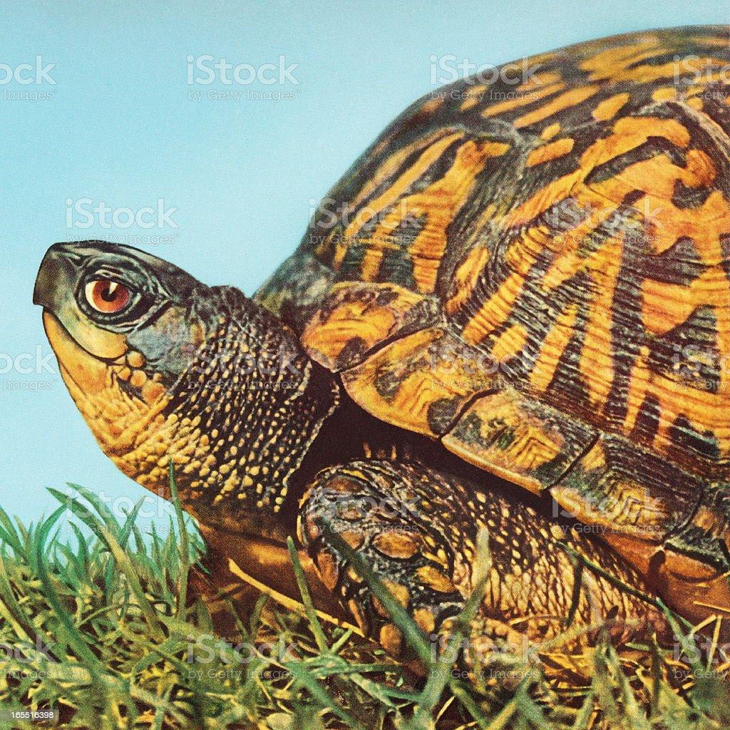 Closeup of a Turtle vector art illustration