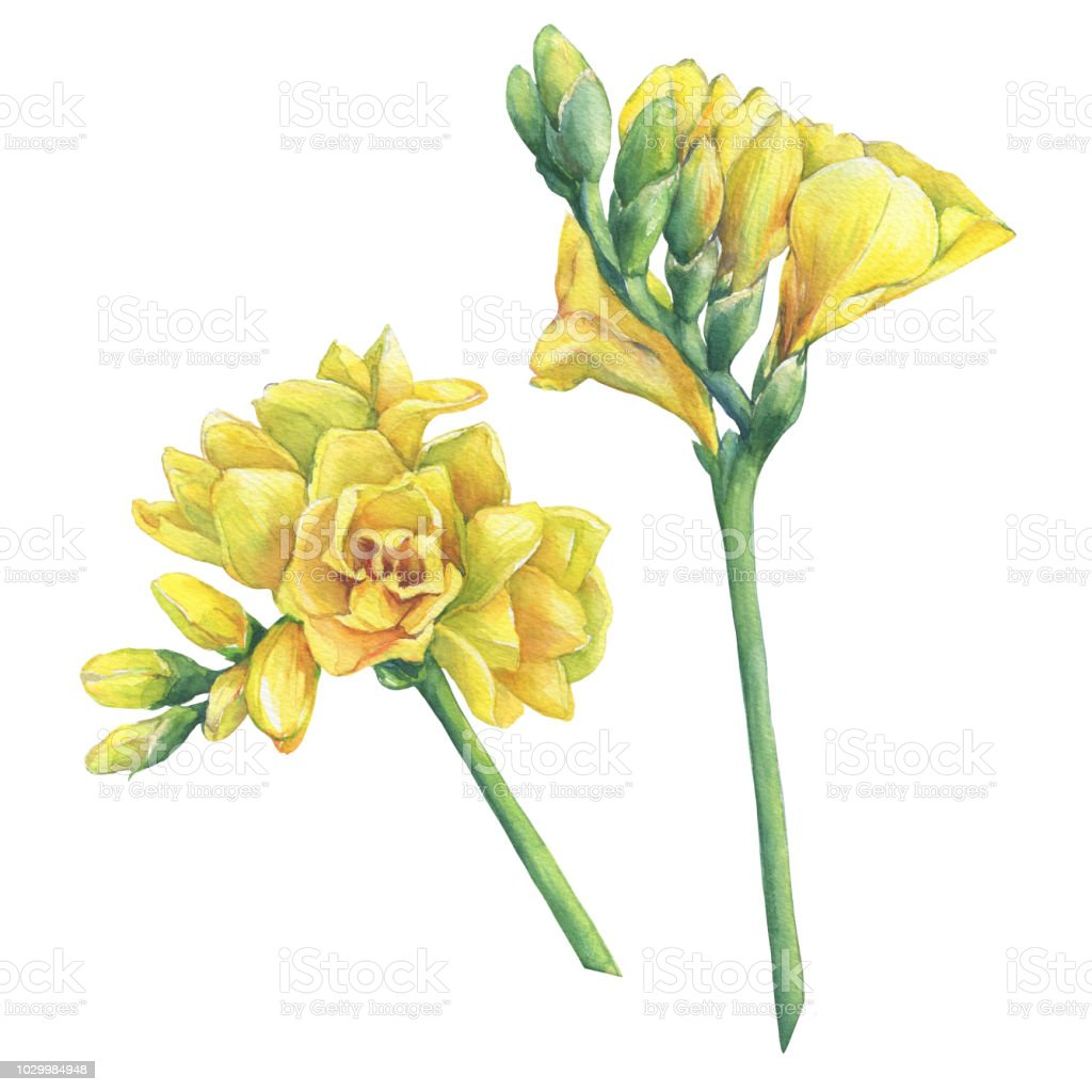 Closeup Of Fresh Branches Yellow Freesia Flowers With Buds Floral