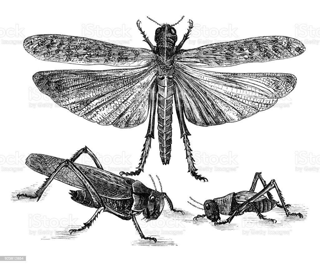 Close-up of migratory locusts vector art illustration