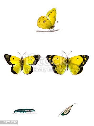 Clouded Yellow Butterfly with Caterpillar and Chrysalis