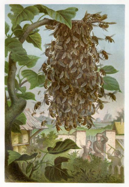 Cluster of bees Chromolithograph 1884 Brehms Thierleben (Tierleben). Allgemeine Kunde des Thierreichs. Vierte Abtheilung - Wirbellofe Thiere. Leipzig Verlag,1884. swarm of insects stock illustrations