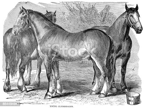 Woodcut of three young Clyesdale horses in pasture. In Cyclopedia of Livestock, Periam and Baker 1882.