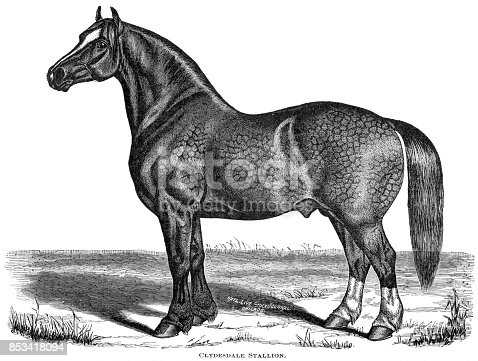 Woodcut of Clydesdale stallion. Engraved for the National Livestock Journal and reprinted in several journals and books. Cyclopedia of Livestock Periam and Baker 1882, Breeders Gazette 1887 Nov 10, The New Cyclopedia of Live Stock and Complete Stock Doctor 1900, World Publishing 1881 edition.
