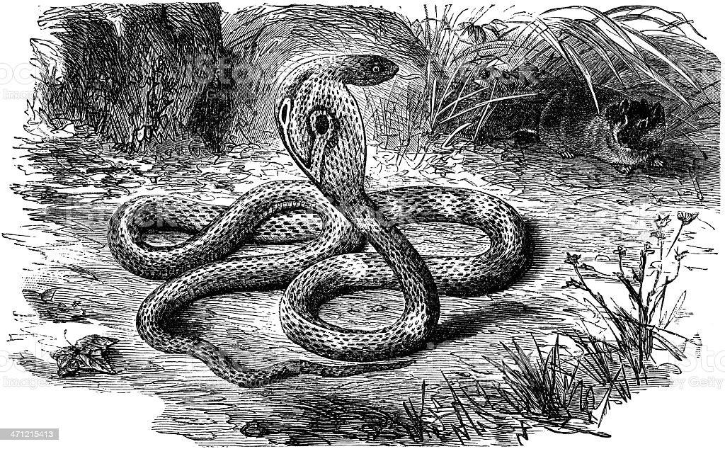 cobra royalty-free cobra stock vector art & more images of animal
