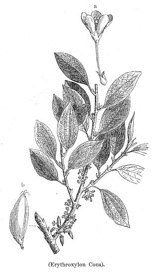 Coca bush botanical engraving 1894