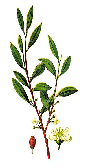 Coca,(Erythroxylum coca)