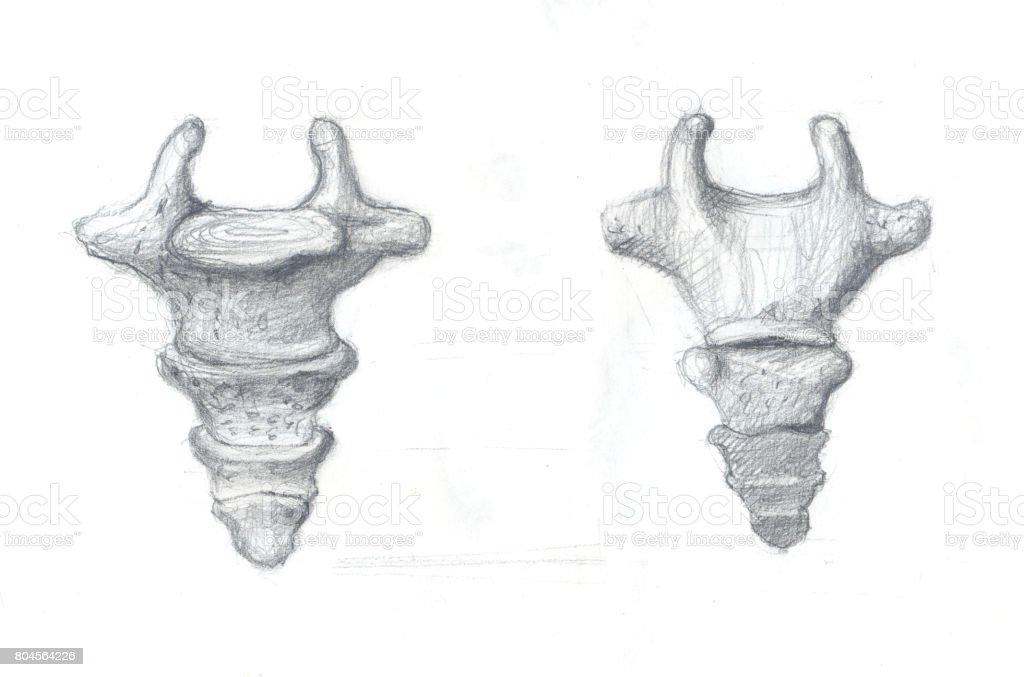 Steißbein Wirbel Stock Vektor Art und mehr Bilder von Anatomie ...