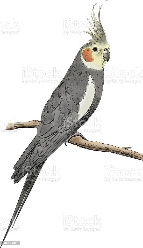 Cockatiel vector art illustration