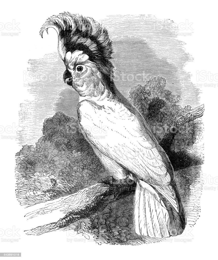 Cockatoo Cacatua Inca bird engraving 1880 vector art illustration