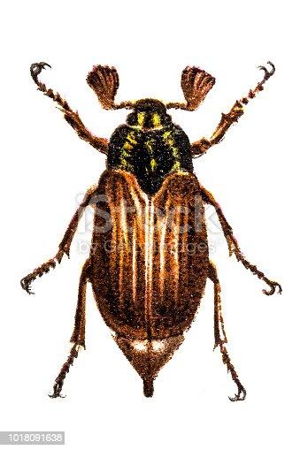 Illustration of a Cockchafe (Melolontha vulgaris)