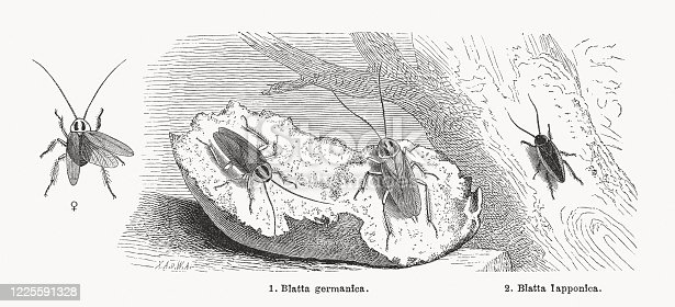 Cockroaches: 1) German cockroach (Blatta germanica), female and male. 2) Dusky cockroach (Ectobius lapponicus, or Blatta lapponica). Wood engravings, published in 1884.