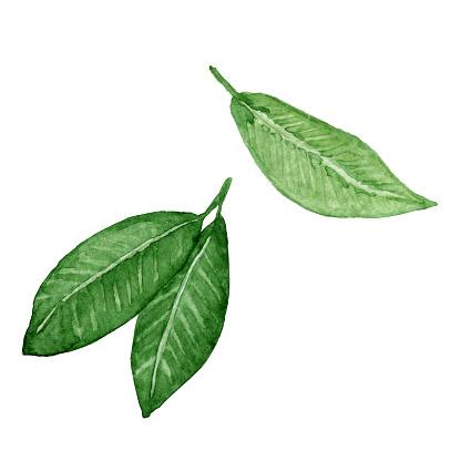 Cocoa leaves hand drawn watercolor clip art