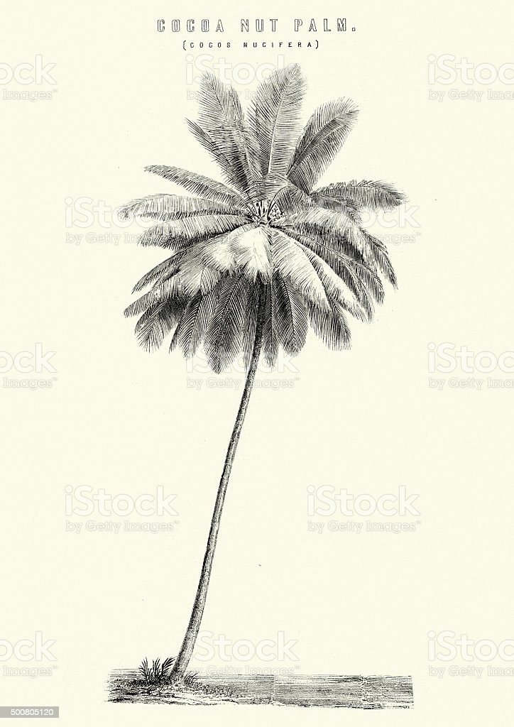 Cocoa Nut Palm vector art illustration