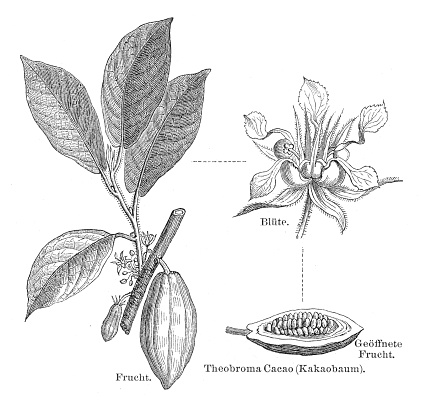 Cocoa plant engraving 1895