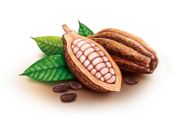 cocoa pods, cocoa beans and leaves - plant pod stock illustrations