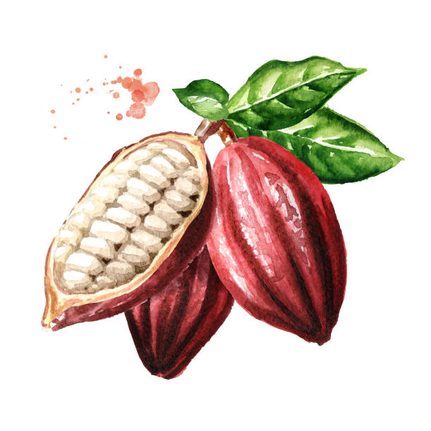 cocoa pods with green leaves. superfood. watercolor hand drawn illustration isolated on white background - plant pod stock illustrations