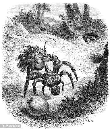 Coconut Crabs in Madagascar from Magasin Pittoresque. Vintage etching circa mid 19th century.