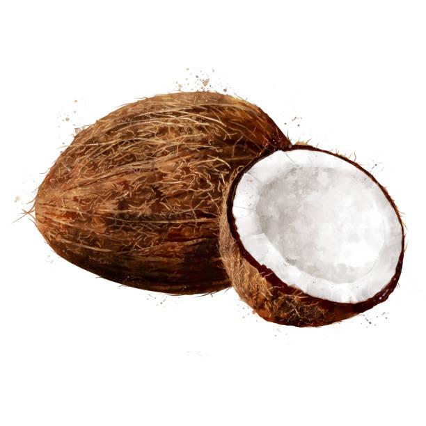 ilustrações, clipart, desenhos animados e ícones de coco em fundo branco. ilustração de aquarela - coqueiro