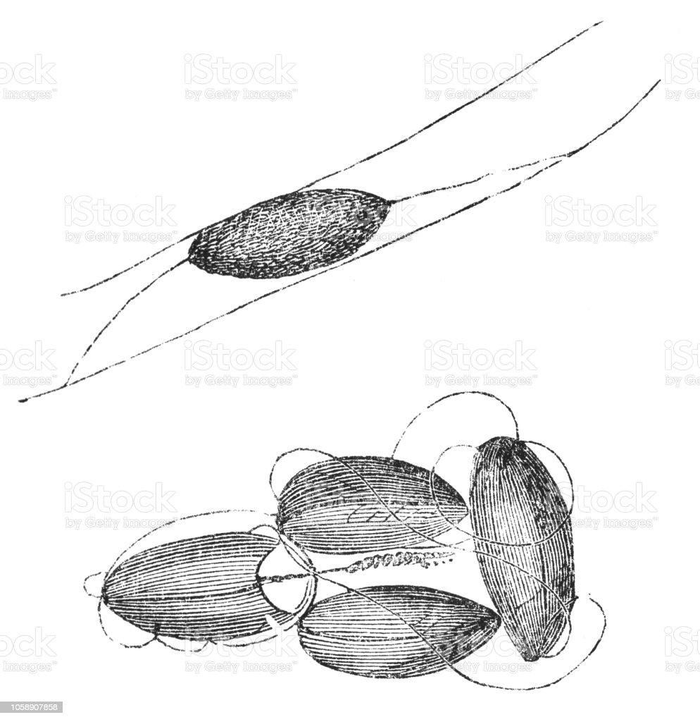 Ilustración de Capullos Del Grano Europeo Polilla Insecto Nemapogon ...