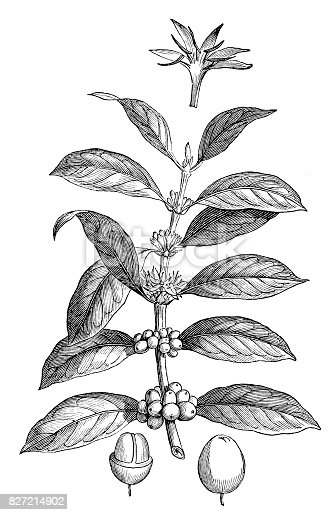 Illustration of a Coffea arabica ,also known as the ,coffee shrub of Arabia, mountain coffee, or arabica coffee