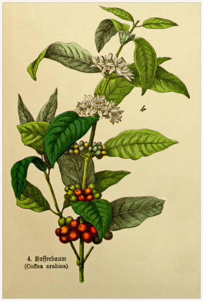 Coffea arabica - Cropped from Victorian style botanical lithographs book. Munich 1880-1889,  Germany. Cropped from Victorian style botanical lithographs book. Munich 1880-1889,  Germany. 1880 1889 stock illustrations