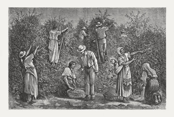 illustrazioni stock, clip art, cartoni animati e icone di tendenza di coffee harvest in costa rica, wood engraving, published in 1888 - coffee farmer
