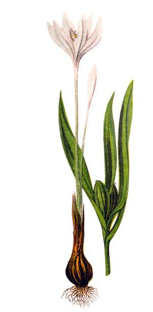 illustrations, cliparts, dessins animés et icônes de colchicum autumnale, communément appelé crocus d'automne, safran des prés ou dames nues - crocus