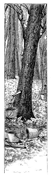 Collecting sap from maple trees Collecting sap from maple trees - scanned 1881 engraving maple syrup stock illustrations