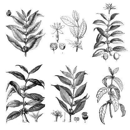 Collection of antique botany illustrations: Coffea arabica, Arabian coffee