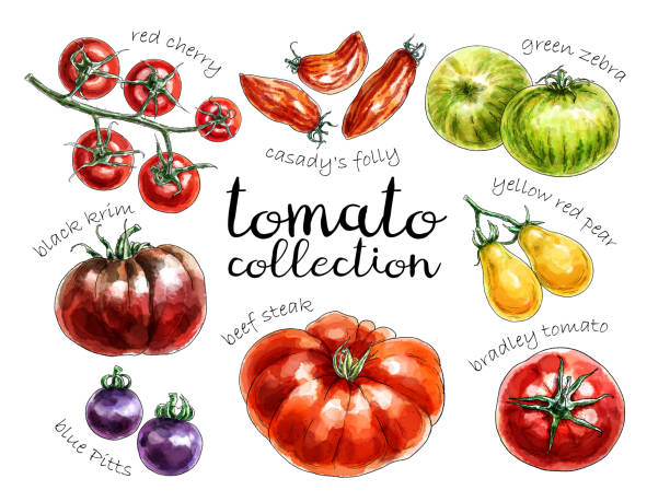 collection of different colored tomatoes - cherry tomato stock illustrations