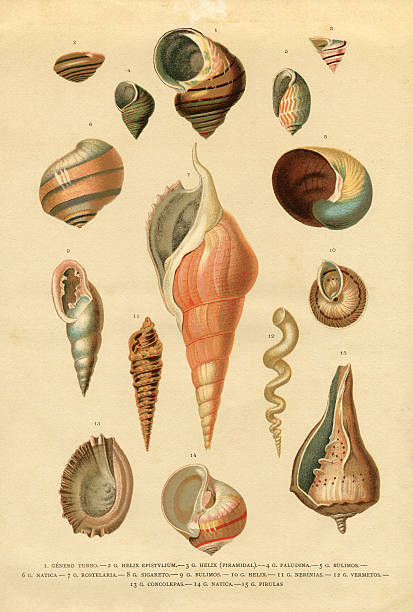 stockillustraties, clipart, cartoons en iconen met collection of different snail shells mollusk - vroegmoderne tijd
