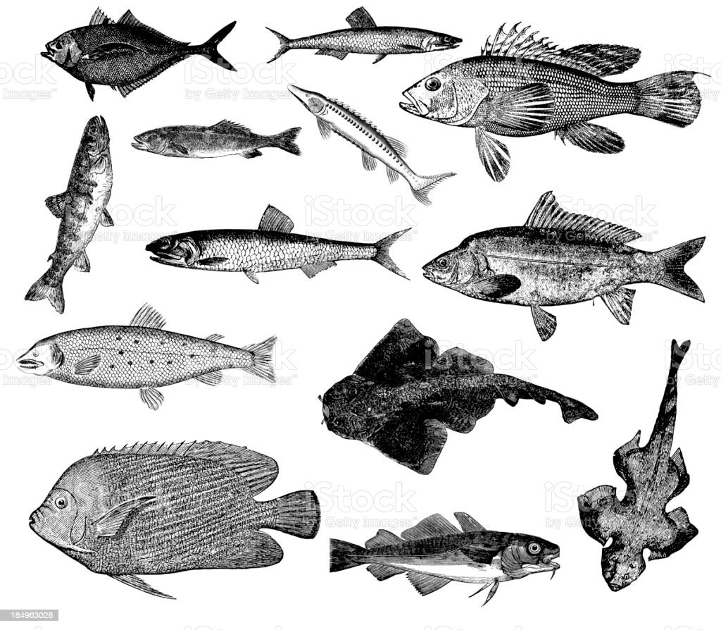 Collection of Fish Illustrations - Carp, Anchovy, Salmon, Bass, Sturgeon royalty-free stock vector art