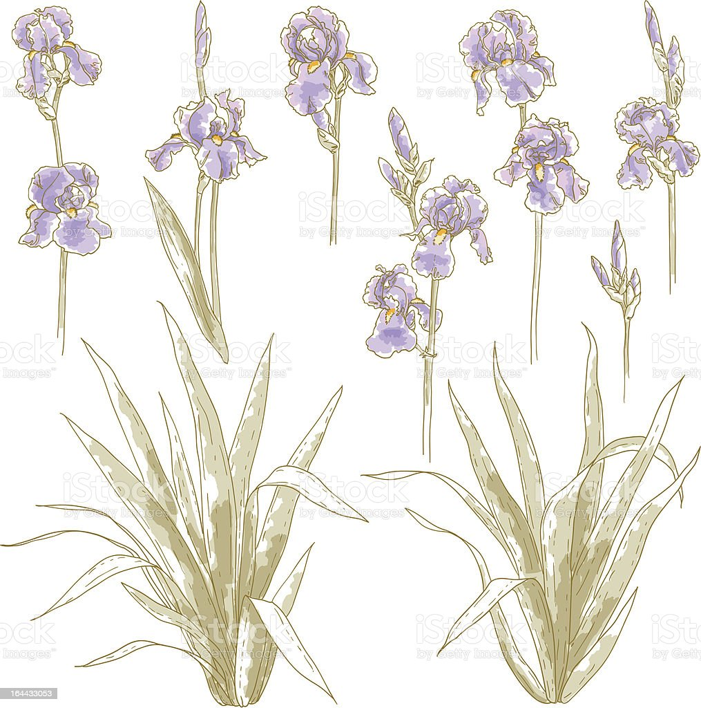 Collection Of Iris Flowers Stock Vector Art More Images Of Art And