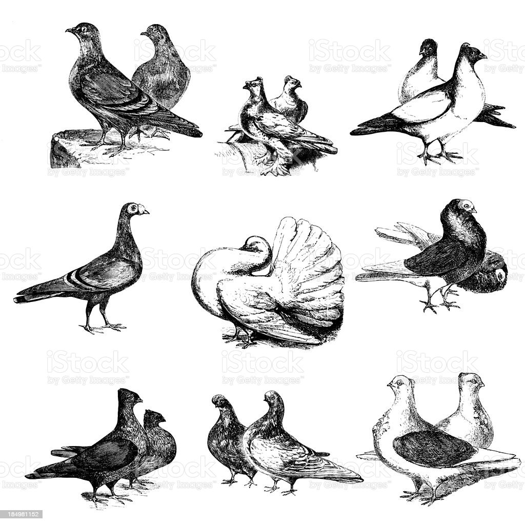 Collection of Pigeon Birds Illustrations royalty-free stock vector art