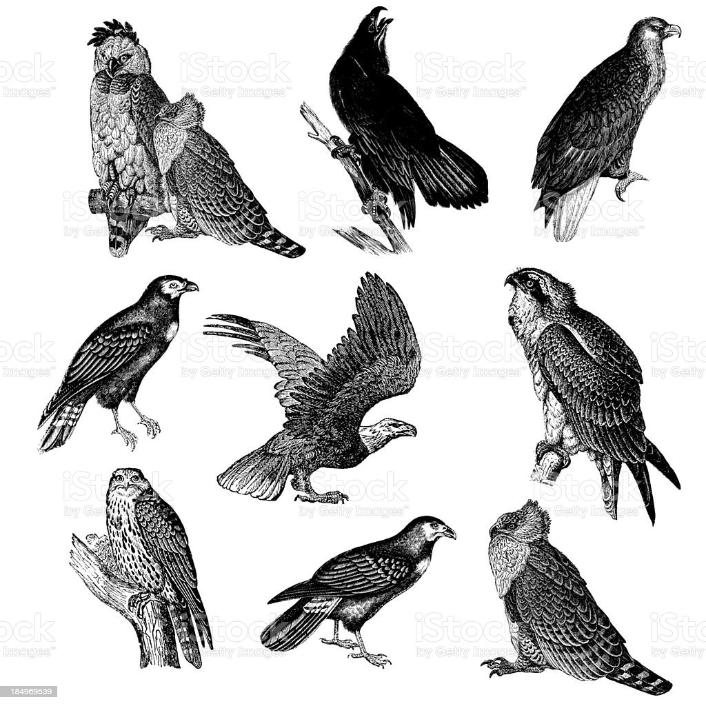 Collection of Raptor Bird Illustrations - Eagle, Falcon, Osprey, Caracara royalty-free collection of raptor bird illustrations eagle falcon osprey caracara stock vector art & more images of 19th century