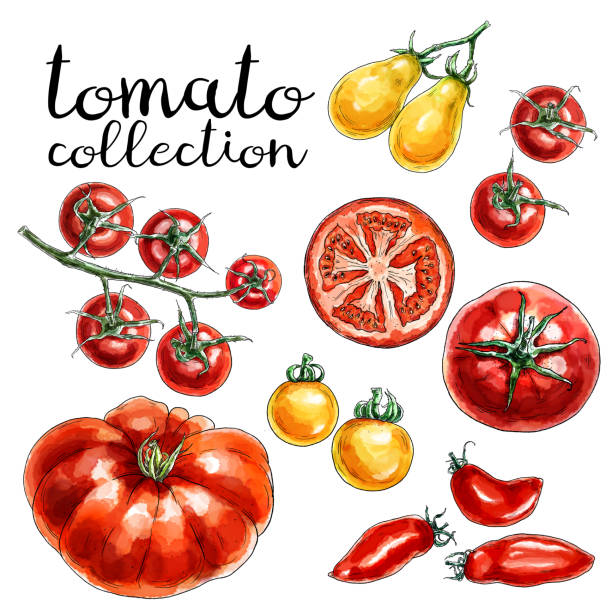 collection of red and yellow tomatoes. - cherry tomato stock illustrations