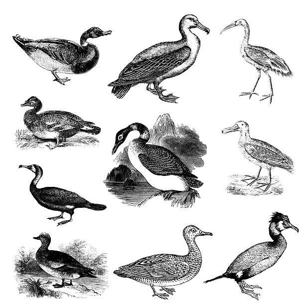Collection of Water Bird Illustrations - Duck, Albatross, Ibis, Gadwall Antique engraving of a set of water birds illustrations. From left to right: duck, albatross, ibis, muscovy duck, great northern diver, wandering albatross, cormorant, American widgeon, gadwall, cormorant. Engravings published in American loon bird stock illustrations