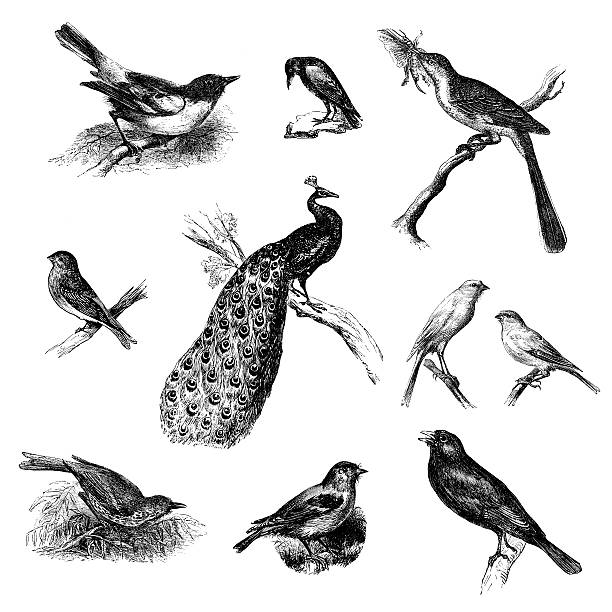 Collection of Wild Bird Illustrations: Crow, Mockingbird, Peacock, Canary, Blackbird vector art illustration