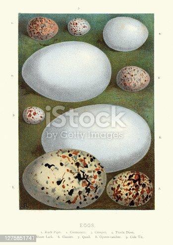 istock Collection wild birds eggs, Pipit, Cormorant, Creeper, Dove, Lark, Gannet 1275851741