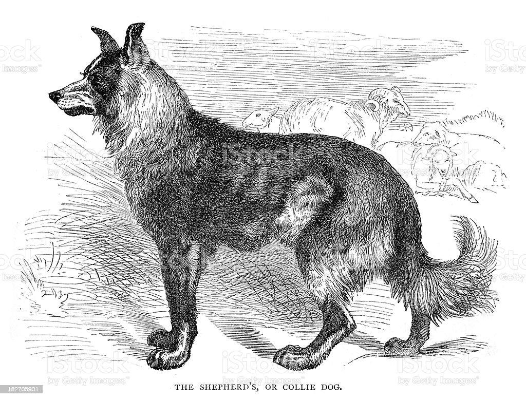 Collie Dog vector art illustration
