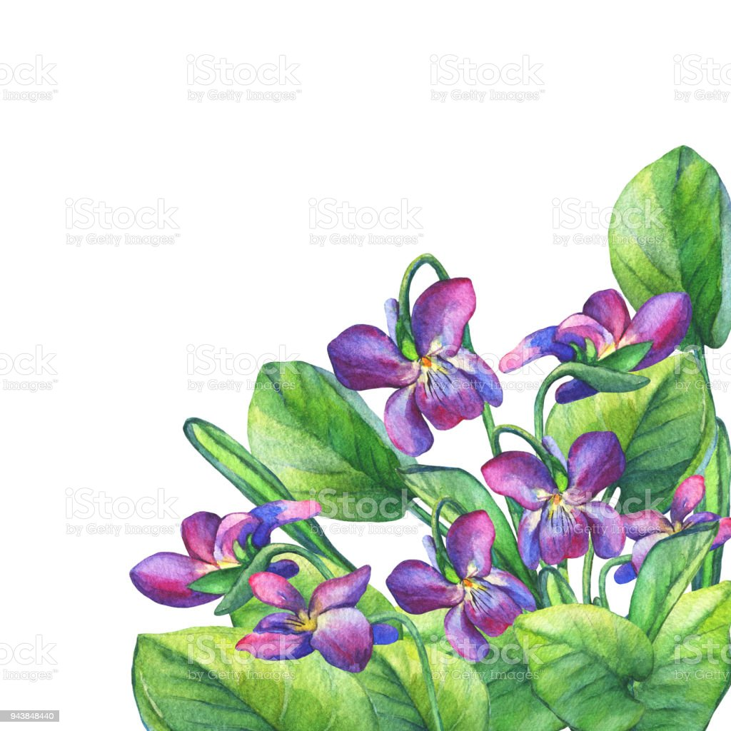 Colorful Spring Flowers Fragrant Violets Hand Drawn Watercolor