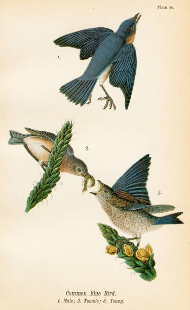 Common blue bird lithograph 1890 vector art illustration